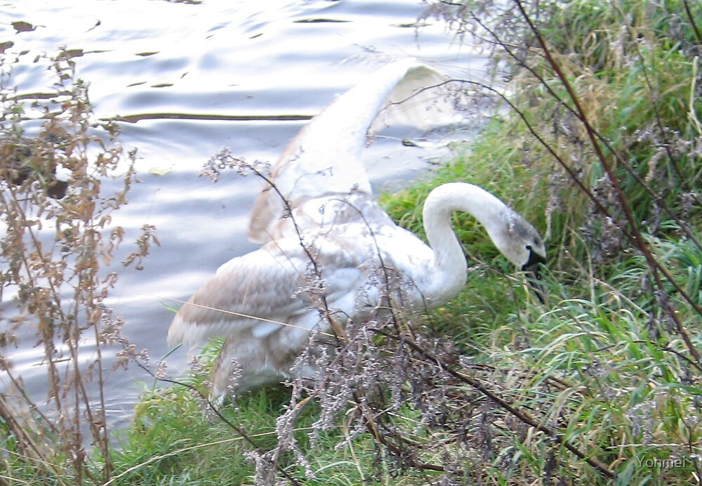 Swan climbing from river by Yonmei