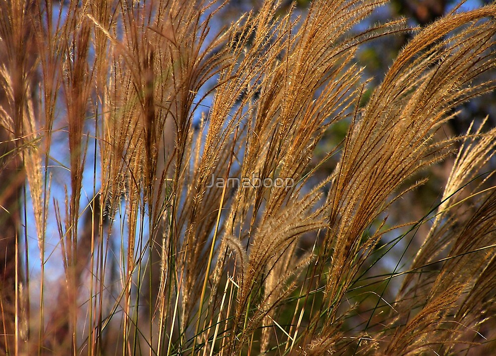 Ornamental grass in breeze by Jamaboop