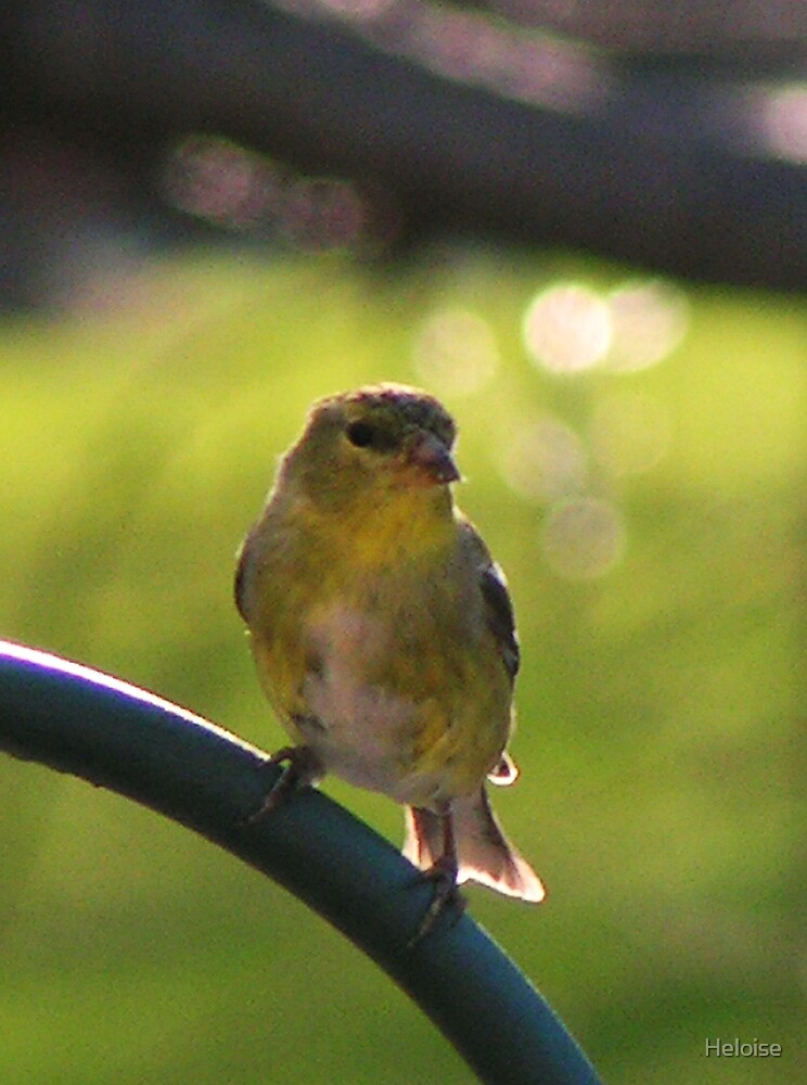 perched finch by Heloise