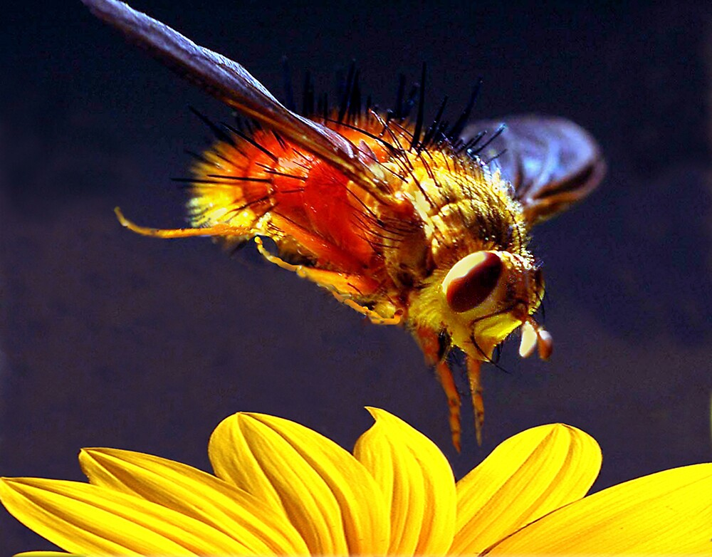 Diving Bee by Ken  Aitchison