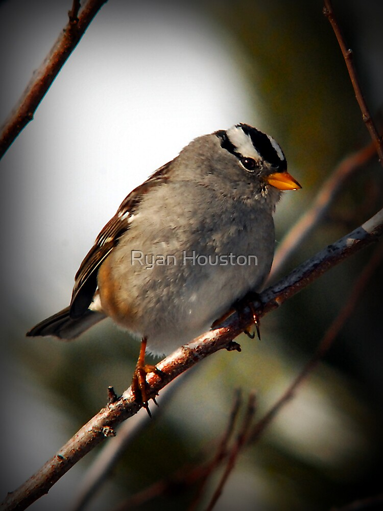 White Crowned Sparrow Winter by photoforyou