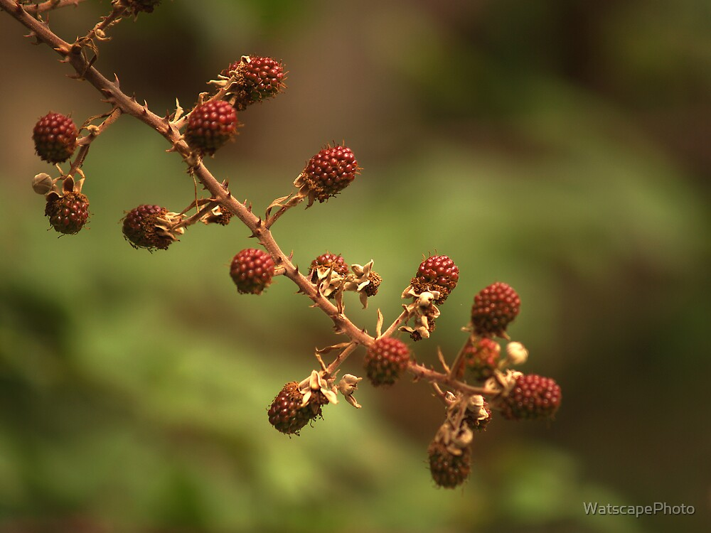 Bramble by WatscapePhoto