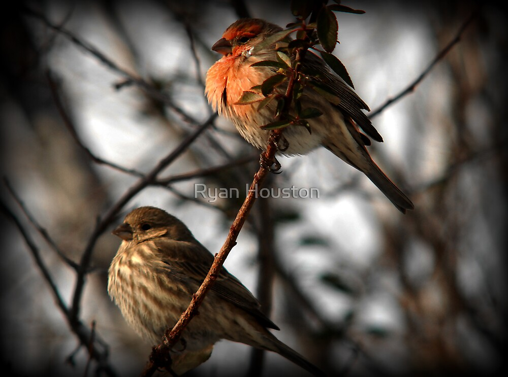 Lovebirds (House Finches) by Ryan Houston