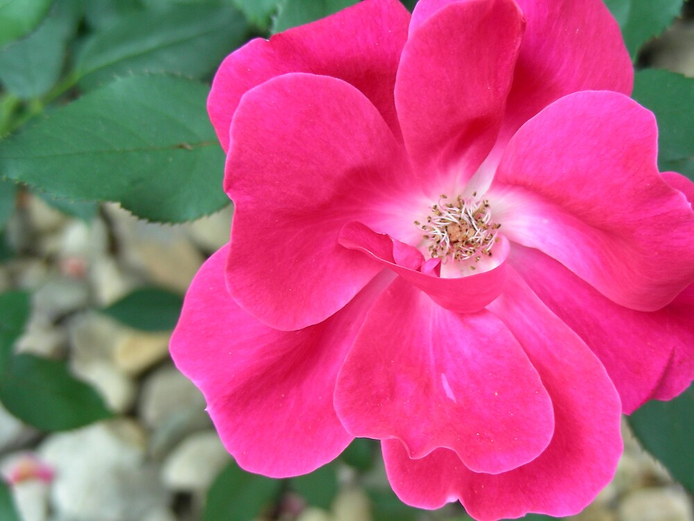 Bright Pink by Jessie  Austin