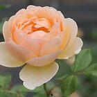 Rose von STHogan