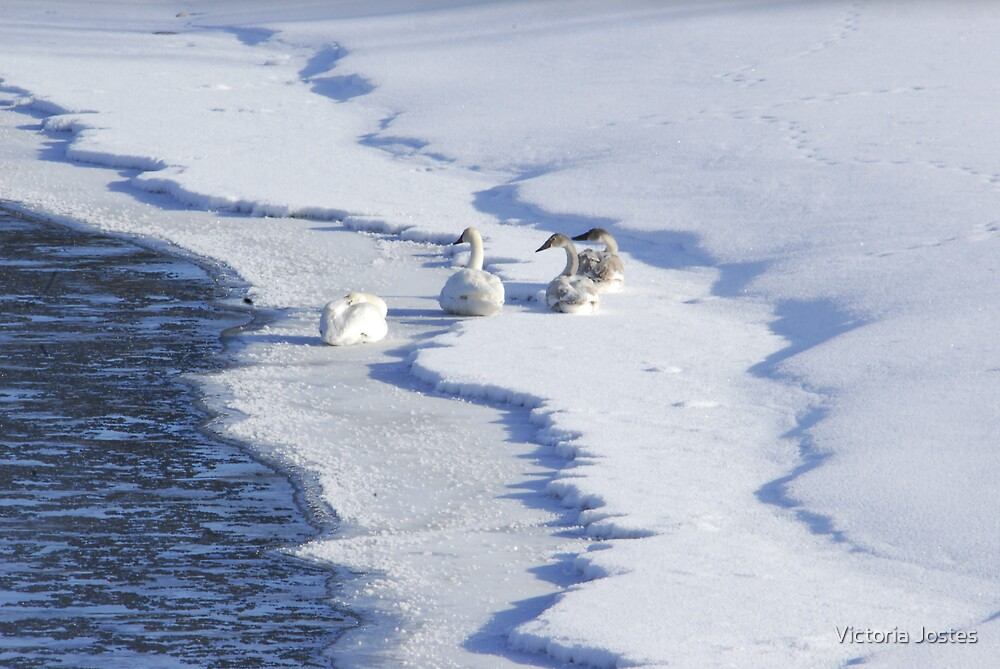 Snowgeese by Victoria Jostes