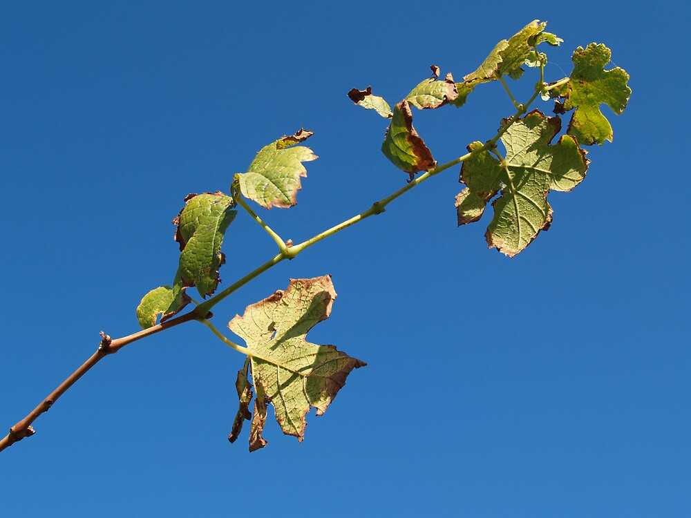 Vine leaves in Yarra Valley by Alwyn Hanson