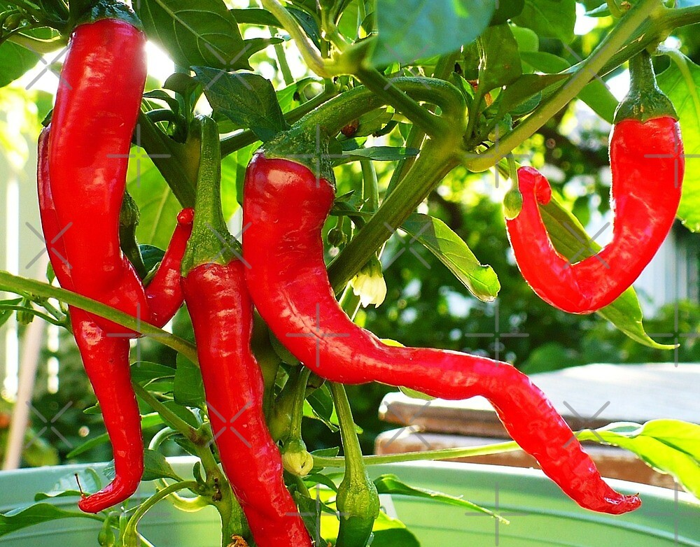 Mexican Hot Pepper Dance  by Linda Bianic
