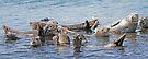Seal Pod at Katmai by Graeme  Hyde
