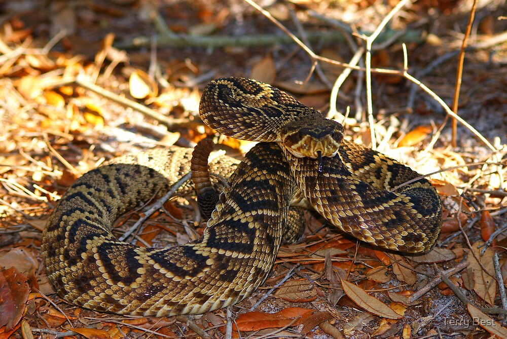 Eastern Diamond Back Rattle Snake by Terry Best