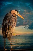 Great Blue Heron and Blue sunset by LudaNayvelt