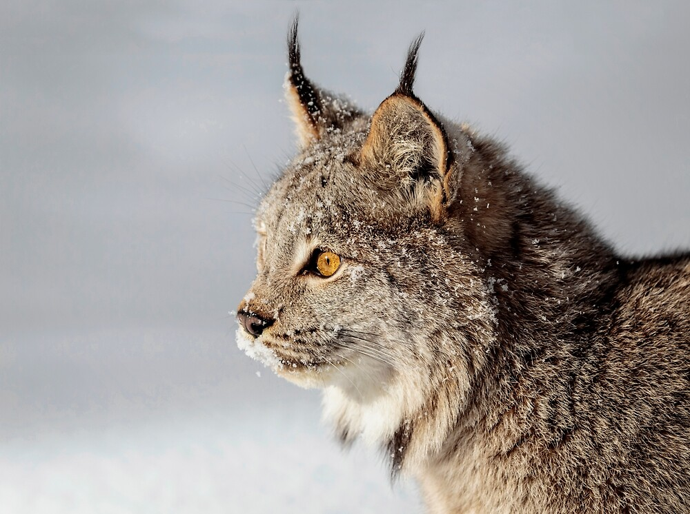 Canada Lynx Up Close by WesDotPhotos