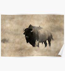 American Buffalo  -  Plains Bison Poster
