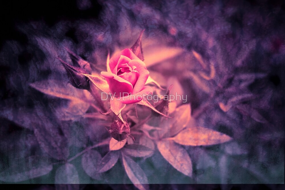 Rose Bud by DVJPhotography