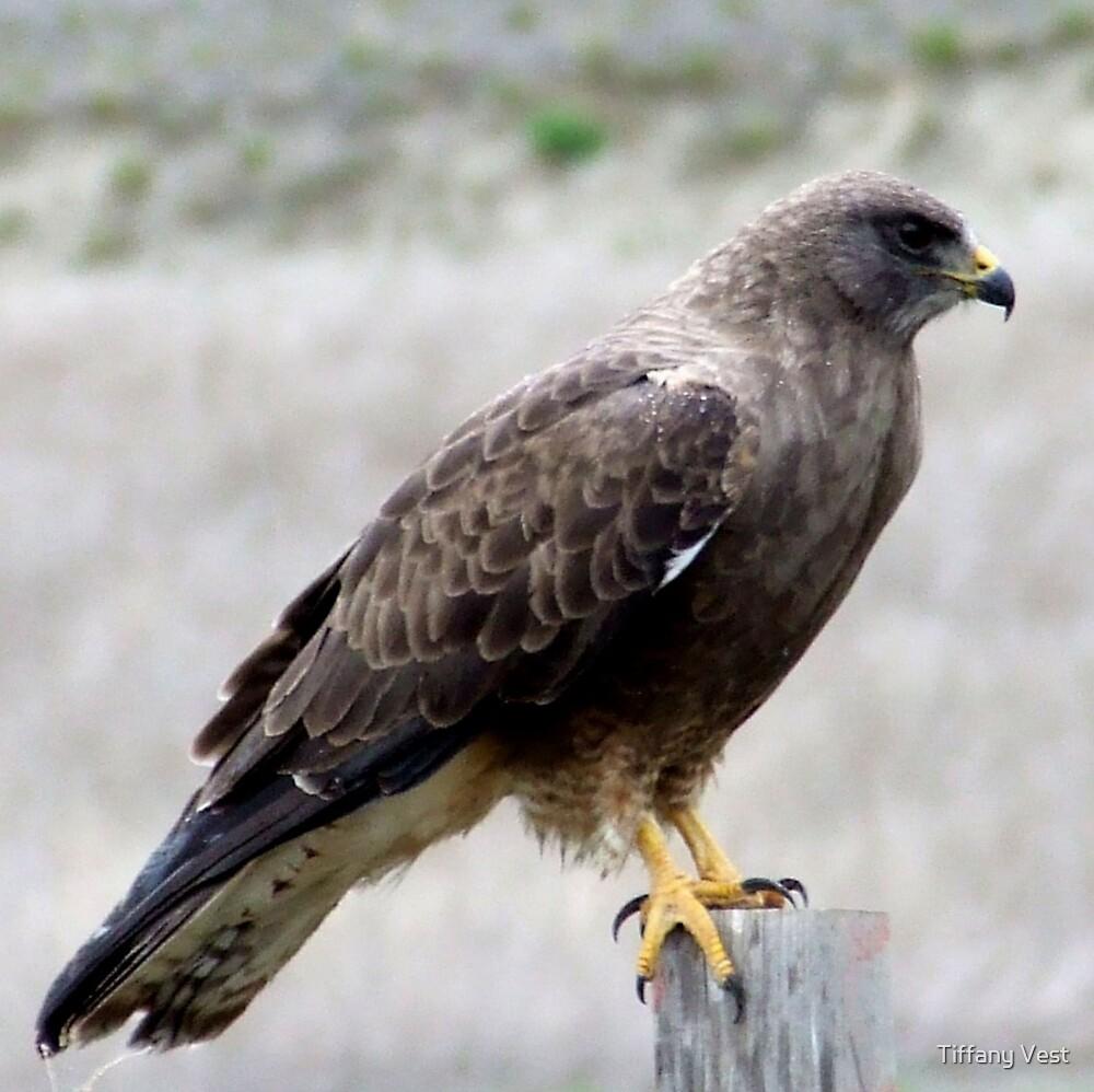 Hawk by Tiffany Vest