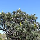 Cape Naturaliste Banksia by kalaryder