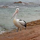 Pelican by the Sea by kalaryder
