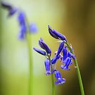 Bluebell Season No. 4 by Ursula Rodgers Photography