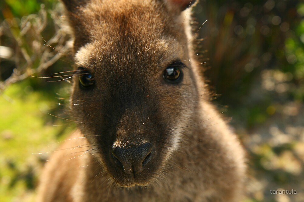 Miss Wallaby by tarantula