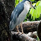 Night Heron Australia by sandysartstudio