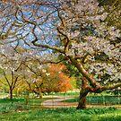 Cherry Blossom Spring by vivsworld