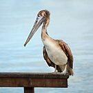 Pelican by Dave Hare