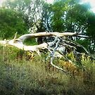 *Fallen Beauty - Tower Hill, Vic. Australia by EdsMum