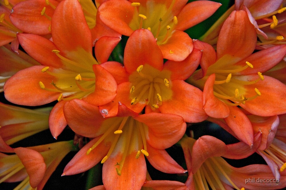 Cluster Of Orange Blossoms by phil decocco