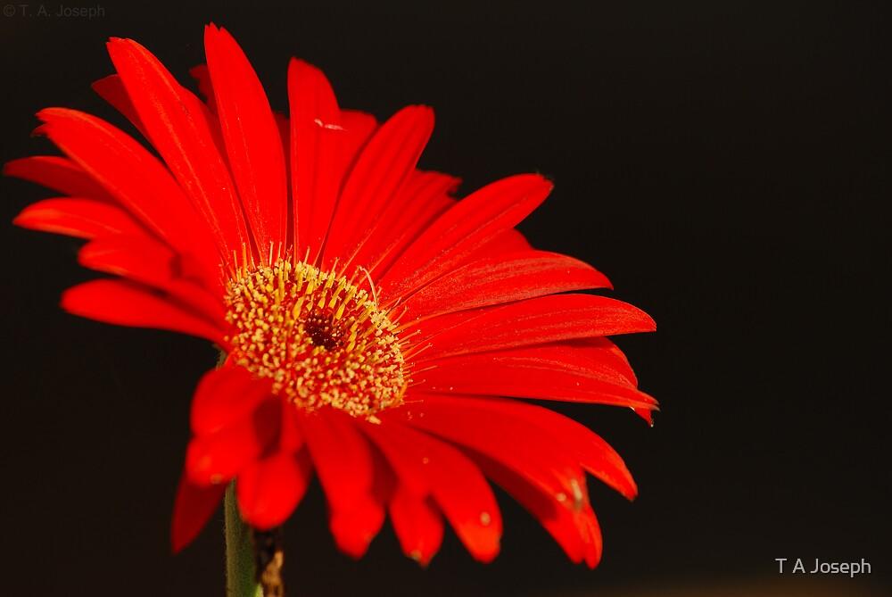 Red Gerbera by T A Joseph