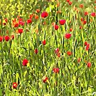 Flanders Poppies by taiche