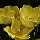 Tulips in the dark... by Poete100