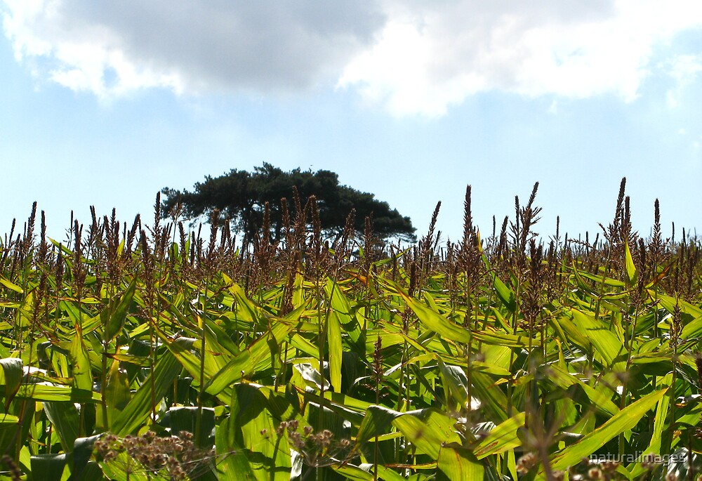 Field of maize by naturalimages