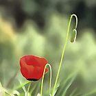 One Poppy by taiche