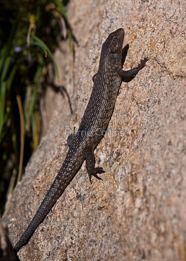King's Skink by Barrie Collins