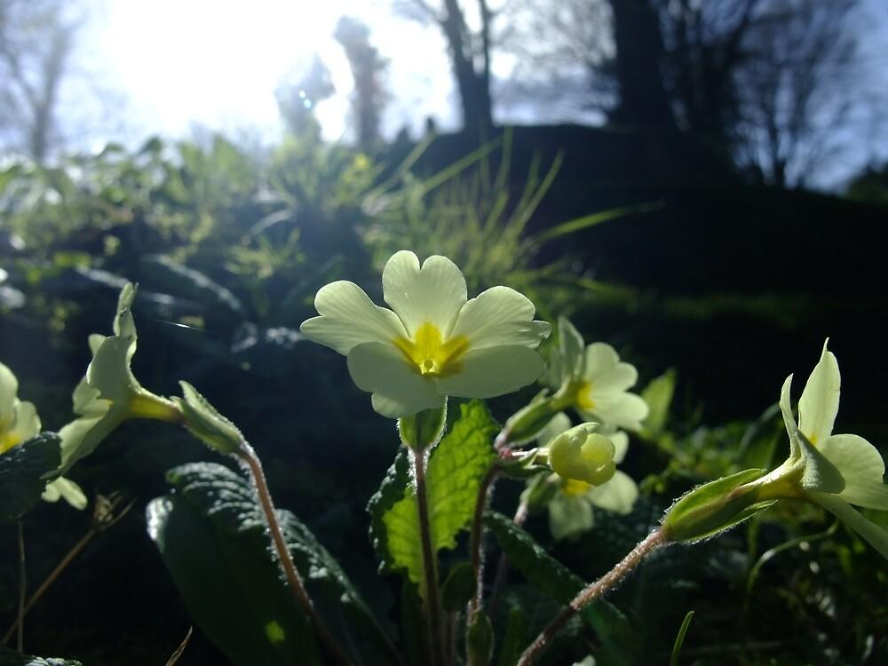 Primrose (Primula vulgaris) by IOMWildFlowers