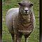 A Close-up Portrait of a Farm Animal