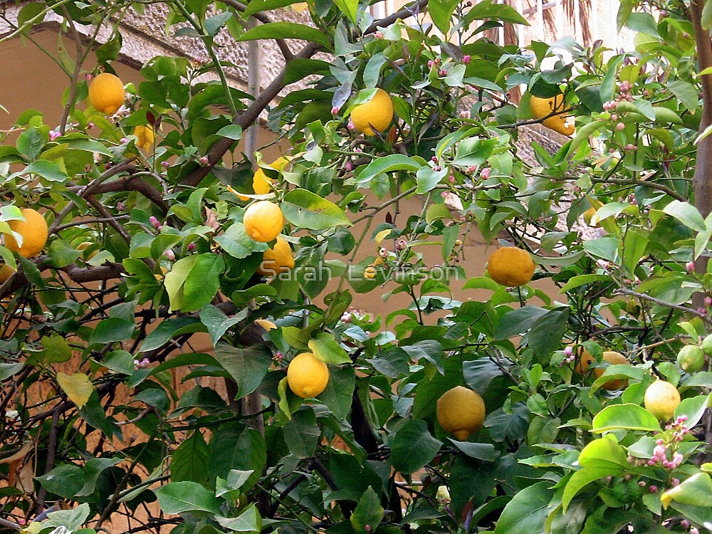 Lemon Tree, Rechavia,Jerusalem by Sarah  Levinson