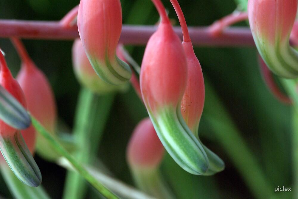 Succulent buds by piclex