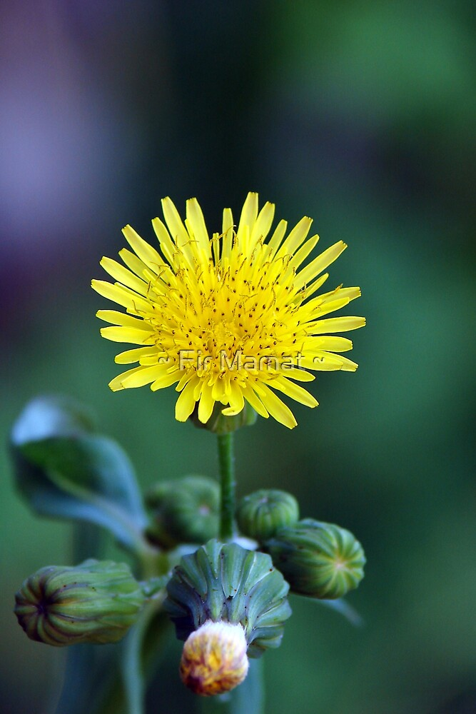 Dandelion by ~ Fir Mamat ~