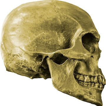 Human Skull by Dalyn