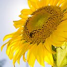 Sunflower by Nando MacHado