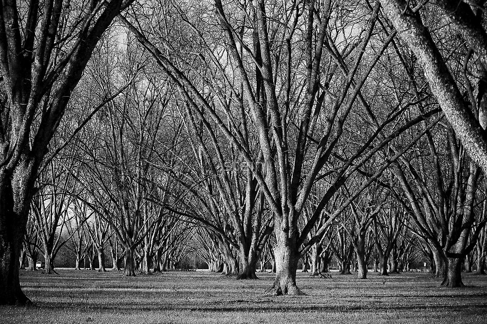 Pecan Orchard by steini