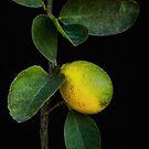 Lemon Branch by CarolM