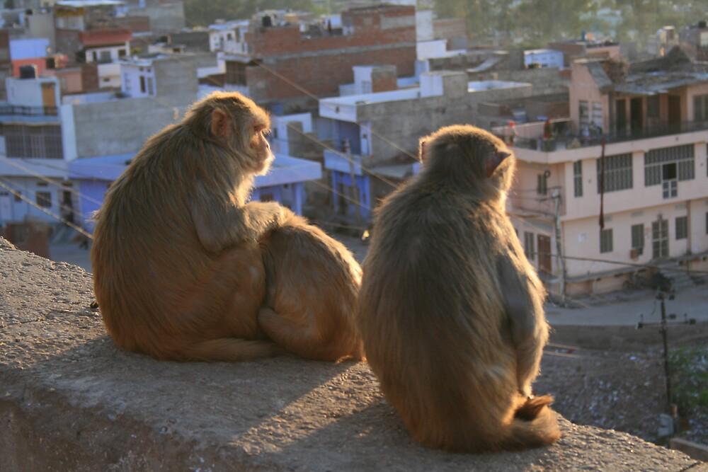 Monkeys enjoying evening sun. Jaipur, India by Thomas Entwistle