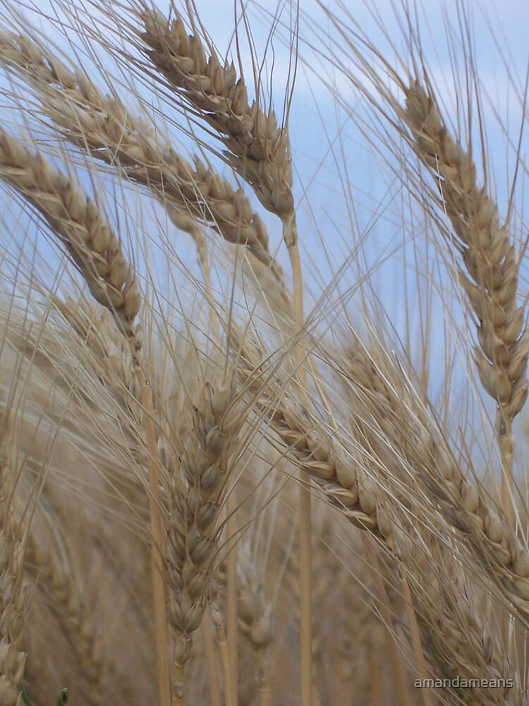 The Heads of Wheat by amandameans