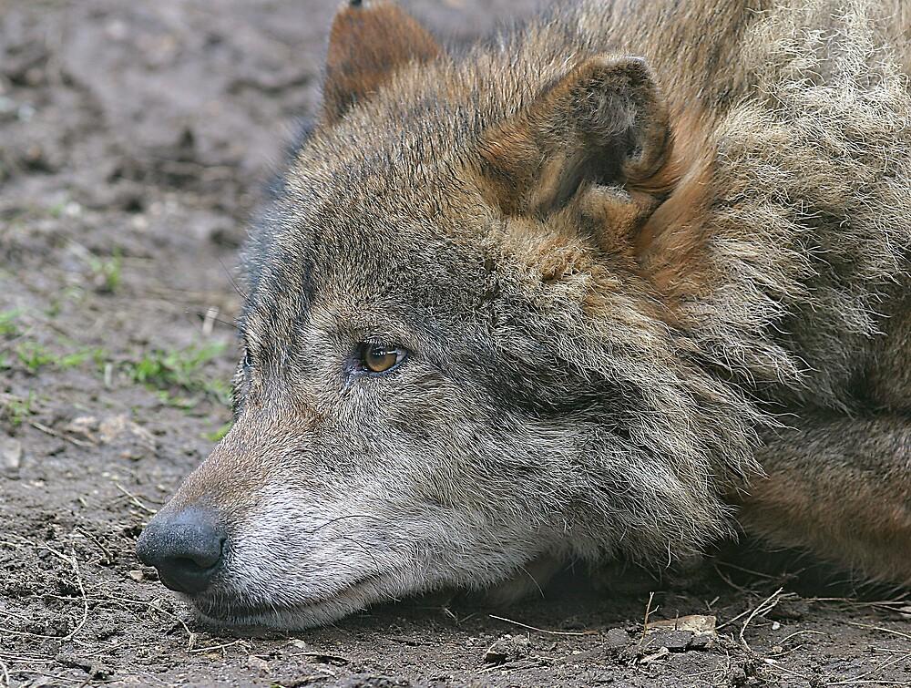 Wolf Skulking by kitlew