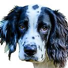 Cute Springer puppy by Dave  Knowles