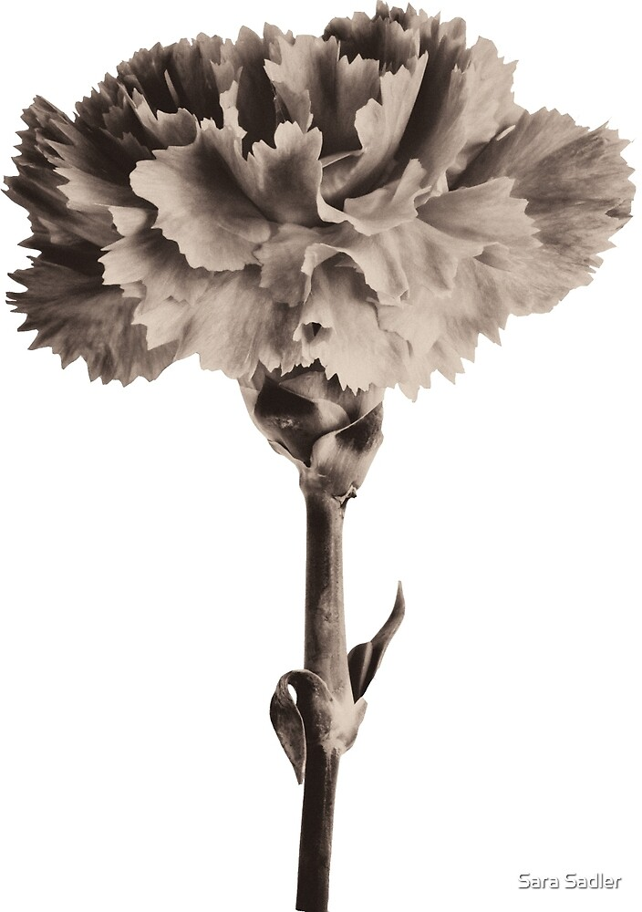 Antique Carnation by Sara Sadler