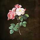 Damask Roses  by Catherine Hamilton-Veal  ©