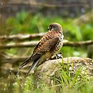 Kestrel by Colin Shepherd